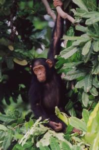 simpanssi.jpg